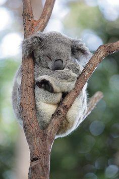 Koala!!!! Today at San Diego zoo
