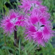 Dianthus superbus - My site Dianthus Perennial, Dianthus Flowers, Perennials, Dianthus Barbatus, Dianthus Caryophyllus, Hot Pink Flowers, Endless Love, Carnations, Gardens