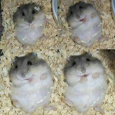 Hamster Edition cute animals Cute