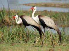 Okavango – drawing global birders - http://zambezitraveller.com/okavango/birding/okavango-–-drawing-global-birders (Wattled cranes - Image credit - Pete Hancock)