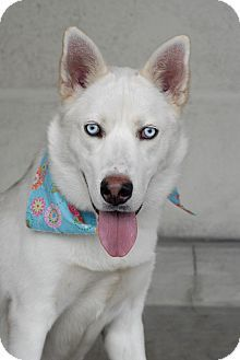Los Angeles, CA - Siberian Husky Mix. Meet Joaquin, a dog for adoption. http://www.adoptapet.com/pet/11285236-los-angeles-california-siberian-husky-mix