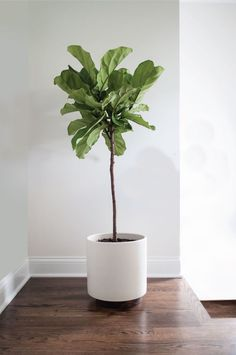 Find out how to grow and care for fiddle leaf fig. Learn about the right growing requirements and fiddle leaf fig care below.Find out how to grow and care for fiddle leaf fig. Learn about the right growing requirements and fiddle leaf fig care below. Potted Plants, Garden Plants, Indoor Plants, Indoor Gardening, Indoor Herbs, Hanging Plants, Fig Plant Indoor, Cactus Plants, Organic Gardening