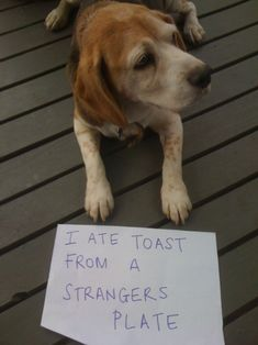 I ate toast from a stranger's plate.  - Beags. ..  Beagles can not help this behavior.