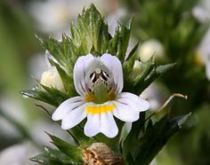 Eyebright infusions can be taken as a tea, or used as an eyewash or compress. Also available in tinctures and capsules. Eyebright is often combined with other herbs and nutrients useful in maintaining ocular health, including bilberry, rutin, and hesperidin. Eyebright is often combined with nettle for use in allergies