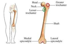 Image result for greater trochanter surface anatomy | Anatomy ...