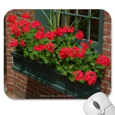 Half-hardy (tolerates cool soils, chilly weather, possible frost, but lasts throughout the summer) plants for sunny spots...GERANIUMS....classic