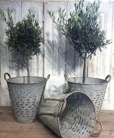 love these olive trees in vintage olive buckets!