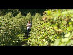 (156) A málna termesztése és metszése - Kertbarátok - Kertészeti TV - műsor - YouTube