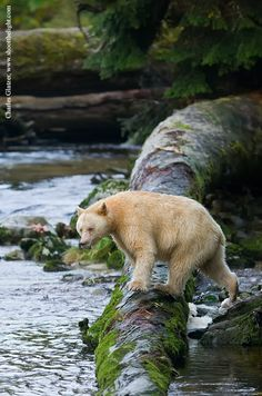 "This is the rare Kermode Bear, also known as a ""spirit bear."" They are not albinos, but are subspecies of American Black Bear living in British Columbia, Canada that have 1 out of every 10 cubs born with white or cream fur. Photo by Charles Glatzer."