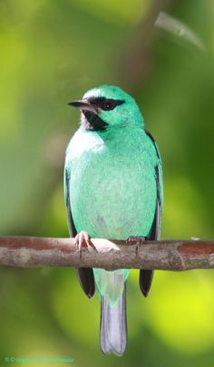 The Blue Dacnis or Turquoise Honeycreeper - from Brasilla, Brazil
