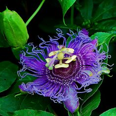 Passion Flower Vine -- These flowers are so large and fragrant that they attract many pollinators.