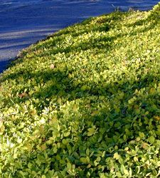 Perennial Peanut x Arachis Glabrata; yellow/orange flowers, summer-fall; no nitrogen fertilizer needed; spreads underground, keep contained; no pest problems; withstands foot traffic; best in south; zone 8-11; height 6-inches