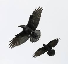crows - Google Search
