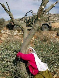 Oliveir de palestine