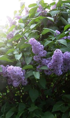 Lilacs. I want some in my yard!