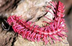 Pink Cyanide Millipede: Among the most bizarre to be discovered was a hot-pink, spiny dragon millipede, Desmoxytes purpurosea.. The millipedes have glands that produce cyanide to protect them from predators.