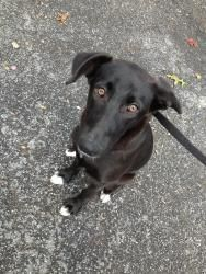 Reesee is an adoptable Labrador Retriever Dog in Spring City, PA. Reesee is 5 months old and a very happy girl!  She loves to chase a ball, go on hikes and definitely swim!  She is the perfect compani...