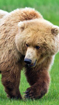 bear, grass, thick, walk