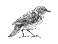 nightingale bird illustration