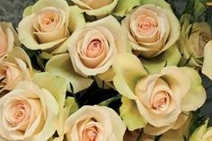 Porcelina spray rose