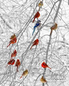 18 Stunning Photos Of Beautiful Birds A In Winter Wonderland; Cardinals: my particular favourite