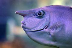 The Whitemargin Unicornfish (Naso annulatus) is one of the largest members of surgeonfish family. Underwater Creatures, Underwater Life, Ocean Creatures, Weird Creatures, Unicorn Fish, Life Under The Sea, Salt Water Fish, Water Animals, Bizarre