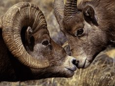 images of ram animals | Name:TWO BID HORN ANIMALS FIGHTING FOR THEIR RIGHT PICTURES,animals ...