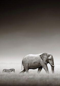 An elephants and zebras treacherous walk