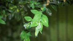 Krušpán napadol neznámy škodca, odborník poradil, ako naňho Plant Leaves, Plants, Green Papaya Salad, Plant, Planets