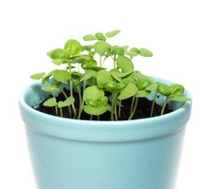 Mint companion planting benefits sixteen different vegetables. The leaves are yummy and the oil provides an effective natural insect deterrent too. Companion Planting Guide, Types Of Herbs, Basil Recipes, Porch Garden, Bamboo Garden, Herbs Indoors, Growing Herbs, Garden Seeds, Garden Inspiration