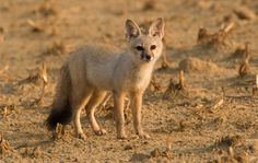 """Bengal Fox / Indian Fox (Vulpes bengalensis) - The Bengal Fox is a small canid, measuring about 28 inches in total length (HBL=18"""" + 10"""" tail). They typically weigh between 5 and 9 pounds."""