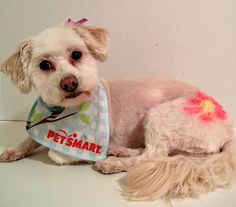Phoebe looks adorable after her expert #PetSmartGrooming #ad #PetSmart Pet Expressions stenciling