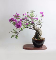 """Bougainvillea Bonsai Tropical Collection by Samurai-Gardens"""" Bougainvillea Bonsai, Bonsai Trees, Potted Plants, Indoor Plants, Strawberry Fields Forever, Tiny World, Southern Charm, Conservatory, Simple Style"""