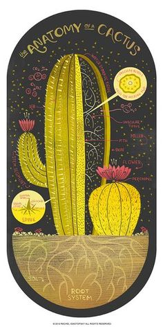 Print of a cactus art painting - The Anatomy of a Cactus by Rachel Ignotofsky on Etsy - illustration wall art - botanical poster in vintage style - home decor for your living room Art And Illustration, Illustration Cactus, Illustration Inspiration, Illustrations, Journal Inspiration, Vegetal Concept, Cactus Art, Cactus Plants, Cacti