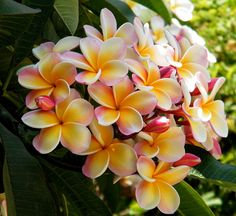 If I still lived in Florida, I would have Frangipani trees all over my yard.