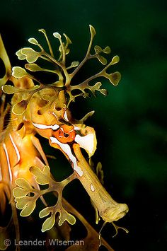 Leafy Sea Horse -Did you know that sea horses have no stomachs so they have to eat constantly?