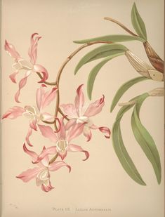 flowers-30514 laelia autumnalis  botanical floral botany natural naturalist nature flowers flower beautiful nice flora plants blooming ArtsCult.com Artscult ArtsCult vintage printable public domain 300 dpi commercial use 1800s 1700s 1900s Victorian Edwardian art clipart royalty free digital download picture collection pack paintings scan high qulity illustration old books pages supplies collage wall decoration ornaments Graphic engravi