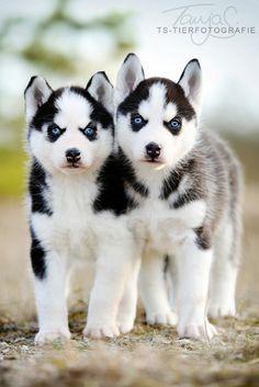 Siberian Husky Puppies by Tanja Schneider.Yaklaşma ısırırım :)