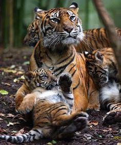 Tiger mum and three babies