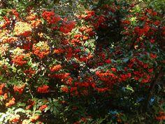 Ezeket is ültesd tuja helyett Plants, Gardens, Autumn, Fall Season, Outdoor Gardens, Fall, Plant, Garden, House Gardens