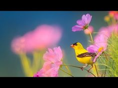 Peaceful Instrumental Music, Relaxing Nature music 'Song Birds of Morning