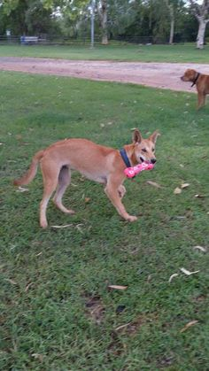 Wild born dingo with first ever christmas present #dogs #pets #dog #Adopt #love #cute #animals #puppy