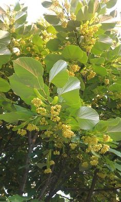TInctures,Tonics and Tea: Herbal Lullaby Elixir