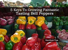 5 Keys To Growing Fantastic Tasting Bell Peppers