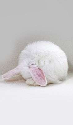 white rabbit curled in a ball