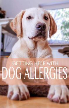 Dog allergies - getting help for a dog that suffers from skin and other allergies