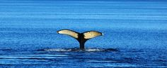 Uniek New England Indian Summer, Cape Cod, New England, Whale, Animals, America, Cod, Animales, Animaux