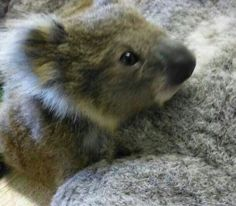 Koala joey found at Guyra NSW after mother killed by car. Being cared for by WIRES volunteer.