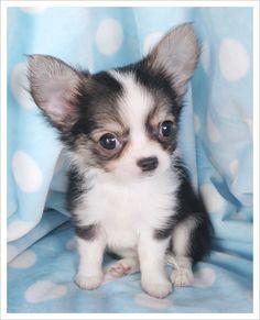 Long Hair Chihuahua Puppy / How to train a Chihuahua http://tipsfordogs.info/90dogtrainingtips