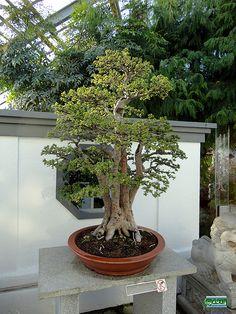 Bonsaï & Penjing - Chinese elm - Ulmus parvifolia - Ulmaceae - 90 years old